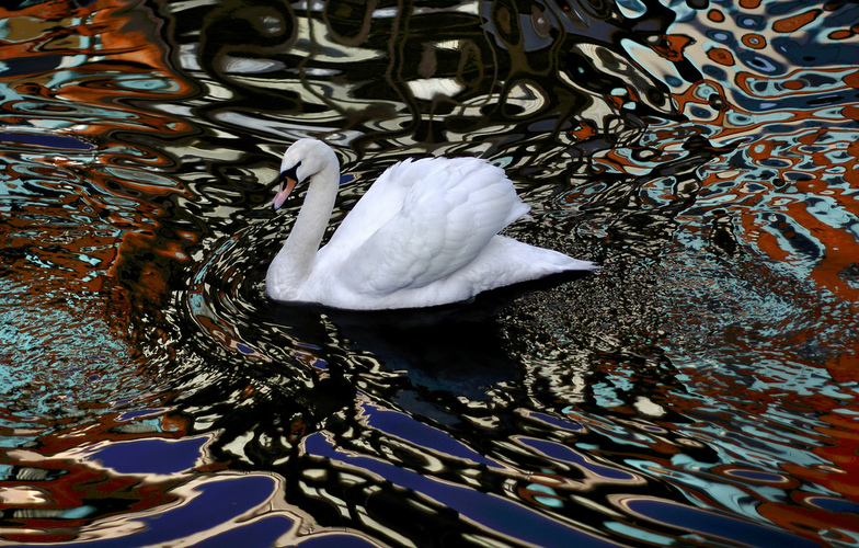 Extra_large_psychodelic_swan